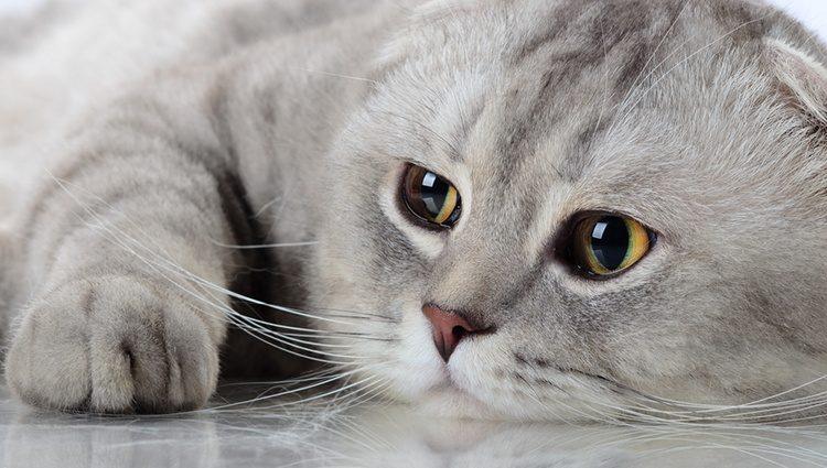 Почему моя кошка не урчит?