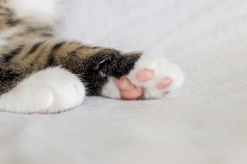 Подушечки для кошачьих лап меняют цвет