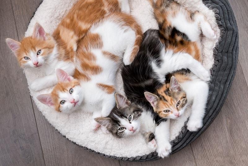 Помнят ли кошки своих братьев и сестер?