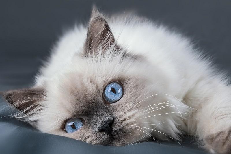 Все котята рождаются с голубыми глазами