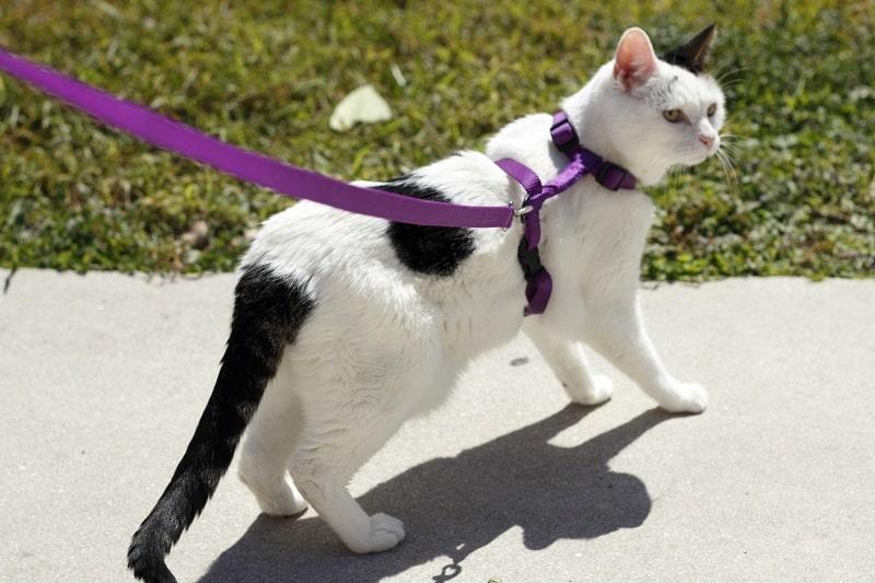 Гуляет кошку на поводке - плохая идея