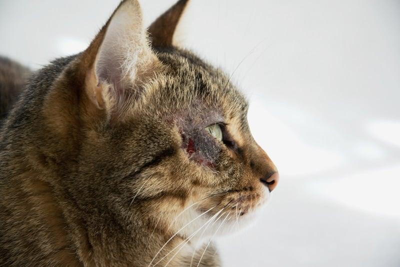 Выпадение волос у кошек вокруг глаз