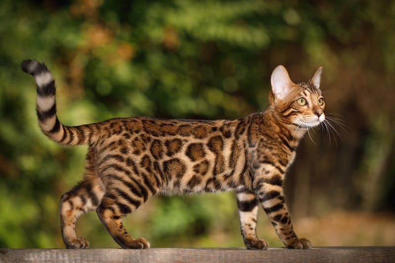 Законны ли бенгальские кошки