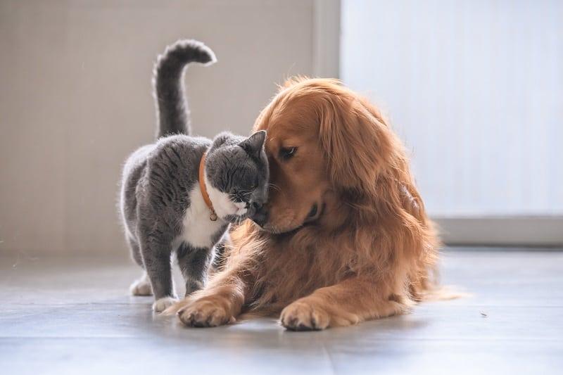 Золотые ретриверы хорошо ладят с кошками?